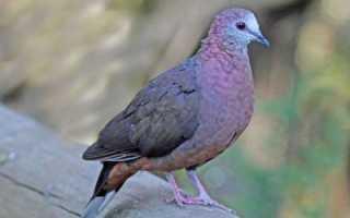 Высоколетные голуби: описание пород, фото