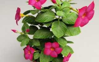 Успешное выращивание дипладении в домашних условиях: практичные советы