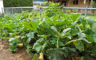 Тыква – как вырастить на огороде, как сажать и ухаживать за тыквой на участке, обработка и хранение тыквы, Мир Садоводства