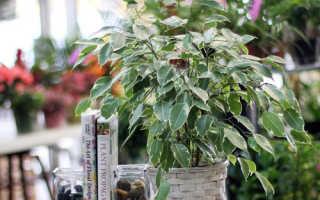 Как вылечить фикус, основные виды болезней и вредителей комнатного растения