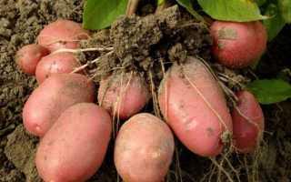Картофель Розара: описание сорта, полноценный уход от посадки до сбора урожая