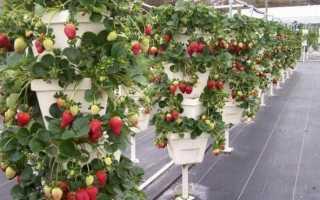 Выращивание вьющейся клубники: посадка и уход за ягодой на дачном участке