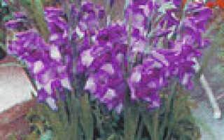 Посадка и выращивание гладиолусов – мой опыт и несколько советов