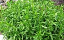 Выращивание эстрагона семенами на рассаду, в открытом грунте, видео