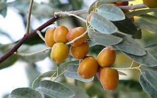 Дерево индийский и чилийский лох: особенности растения, посадка и уход