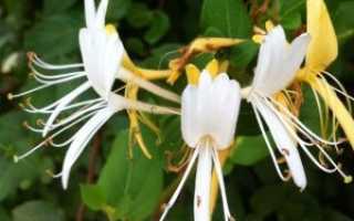 Жимолость въющаяся — декоративная: популярные сорта для сада