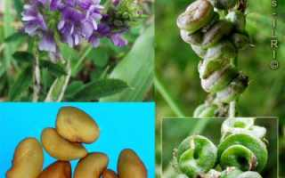 Люцерна как сидерат: выращивания, уход, полезные свойства