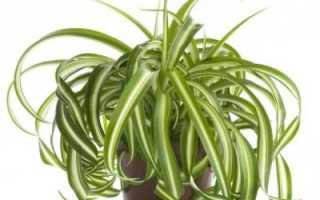 Хлорофитум: полезные свойства неприхотливого растения