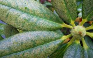 Болезни и вредители рододендрона: фото и лечение