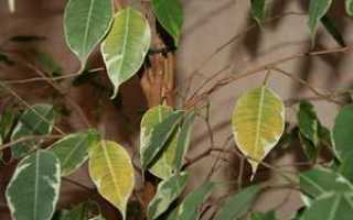 Что делать, если фикус Бенджамина начал сбрасывать листья: причины, профилактика и уход
