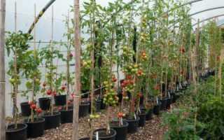 Томат Спасская башня F1: отзывы, описание, урожайность