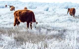 Калмыцкая порода коров: характеристика, достоинства