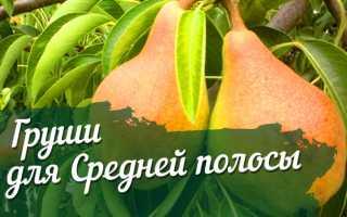 Сорта груш для Средней полосы России (летние, осенние, зимние) с фото и описанием