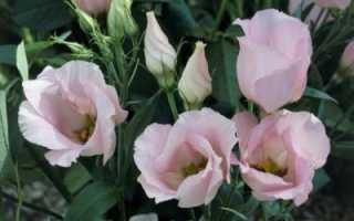 Комнатная эустома: выращивание и уход в домашних условиях
