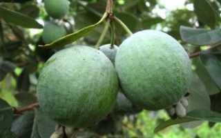 Как растет фейхоа: особенности выращивания в открытом грунте, размножение семенами и черенками
