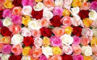 Розы Кордеса: лучшие сорта с фото и описанием