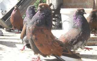 Кировоградские голуби: описание и характеристика породы