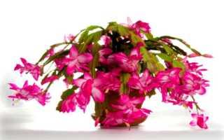 Эпифиллум (виды и сорта): срок жизни и размер взрослого растения, правила его размещения в квартире