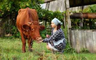 Длительность жизни коров: средний возраст, периоды жизни