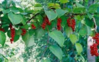 Все способы размножения китайского лимонника, изучаем нюансы