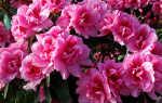 Азалия – уход и выращивание в домашних условиях, советы для цветоводов