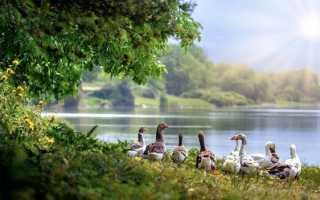 Отбор гусей на племя — отношения пернатых, 3 способа определение пола гусей