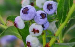 Сорт голубики Нортланд: описание, уход — Сад Ботаника