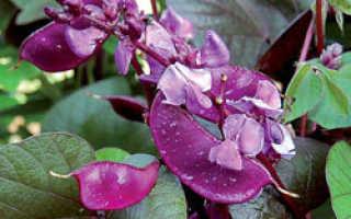 Гиацинтовые бобы посадка и уход, выращивание из семян, когда лучше сажать фото