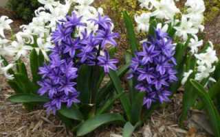 Гиацинт в горшке: уход в домашних условиях, посадка, выращивание и рекомендации
