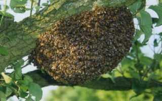 Как предотвратить роение пчел: плюсы и минусы способов