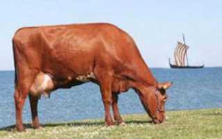 Красная степная порода коров: характеристика, фото, особенности разведения