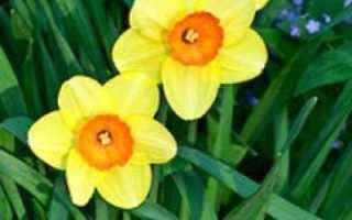 Правильный уход за нарциссами после цветения