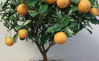 Каламондин: размножение растения в домашних условиях