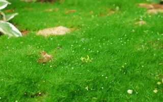 Мшанка шиловидная — выращивание, уход, отзывы