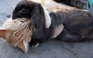 Особенности взаимоотношений между кроликом и котом, рекомендации владельцам