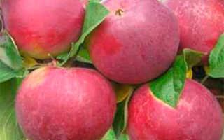Яблоня Орлик: характеристика и описание сорта, фото, отзывы