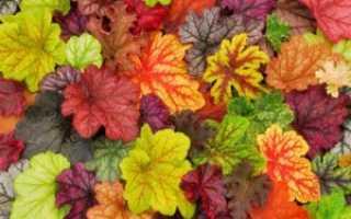 Гейхера: виды дикорастущего растения с описанием и фото