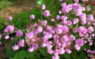 Садовый цветок василистник: разновидности с фото, особенности посадки и ухода, способы размножения