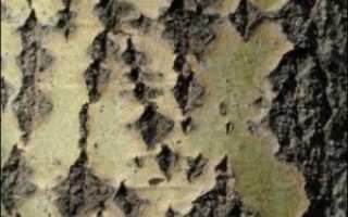 Кора осины: лечебные свойства и противопоказания, применение в рецептах народной медицины
