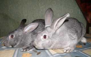 Болезни кроликов и их лечение — описание симптомов ( фото)