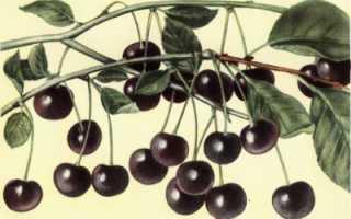 Черная вишня: описание сорта, посадка и уход