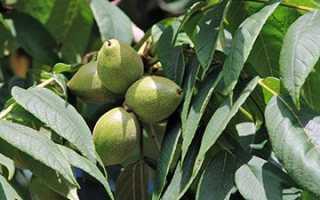 Орех маньчжурский: лечебные свойства и противопоказания