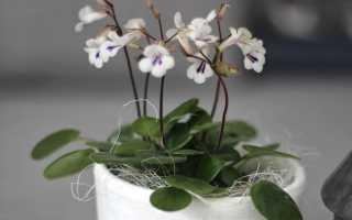 Хирита цветок уход и размножение в домашних условиях