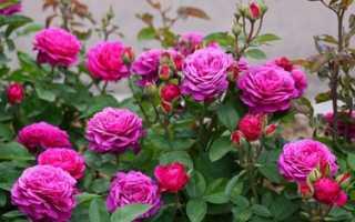 Роза патио: хит микс и другие сорта, их характеристика, а также посадка и уход в домашних условиях