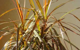 Почему желтеют листья у драцены, уход в домашних условиях