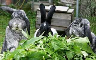 Можно ли давать кроликам чистотел? Польза или реальный вред?
