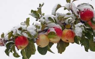 Почему яблоня не сбрасывает листья на зиму, что делать