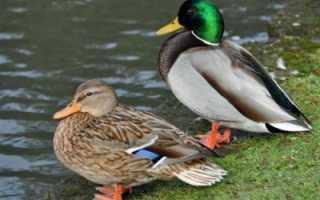 Утка и селезень — это представители одного вида