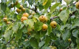 Груша уссурийская: описание растения, способы посадки и правила ухода, борьба с болезнями и вредителями