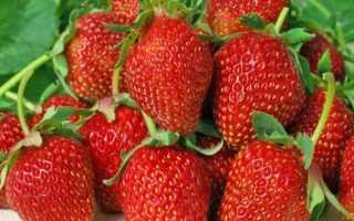 Клубника альбион: описание ремонтантного сорта, выращивание и уход